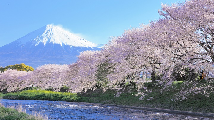 See cherry blossoms in the peak of their season: Introducing the best times for sakura viewing