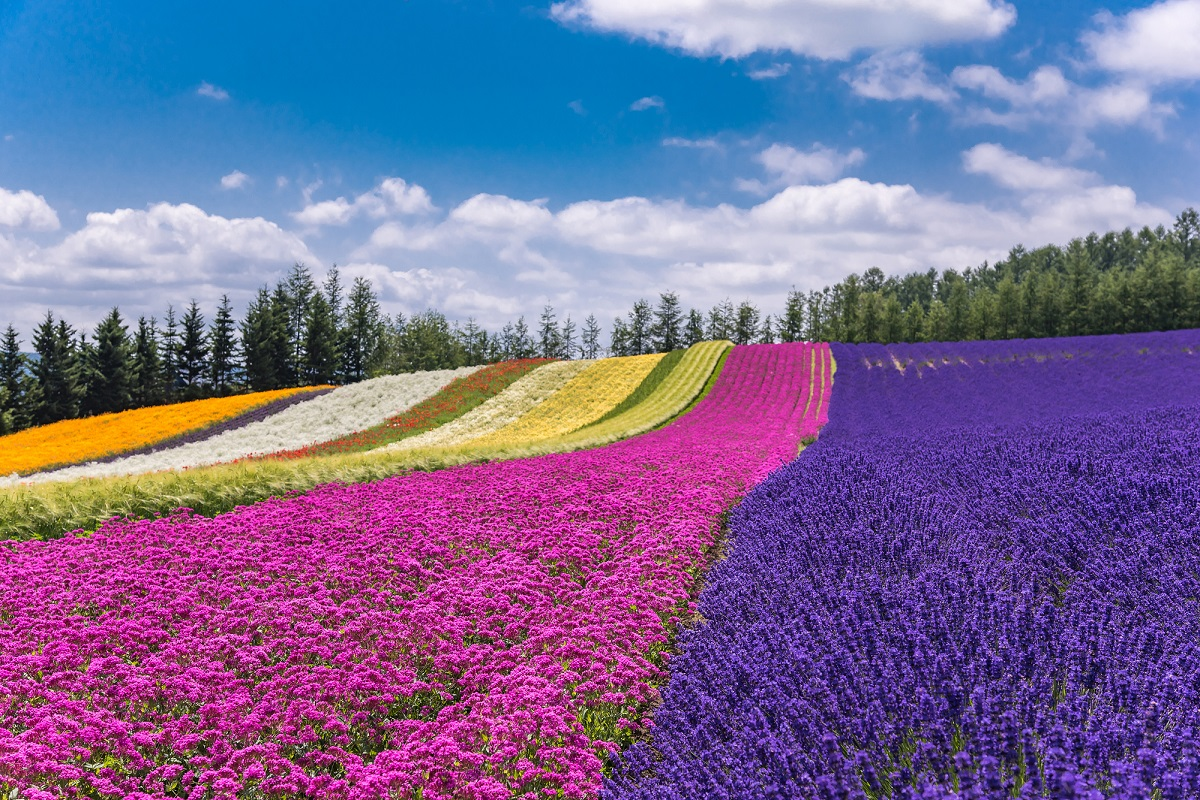 Breakfast in a Special Chartered lavender field in Furano, Hokkaido! Your best bet is to join a tour in the peak season!