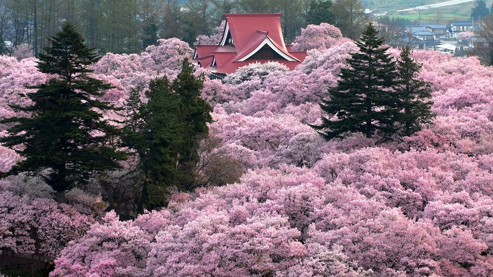 Must see: Three best spots for cherry blossoms in Japan!