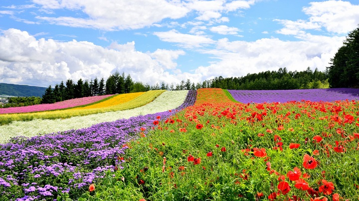 Scenic Beauty of Japan: Lavender Fields of Furano (Hokkaido)